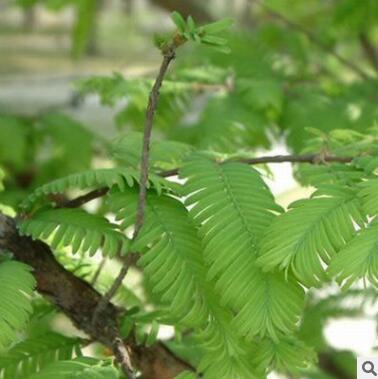 供应水杉树 各种规格