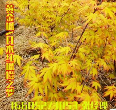 嫁接日本红枫橙之梦黄金枫树盆景 小苗带土发货盆景 庭院绿化盆栽