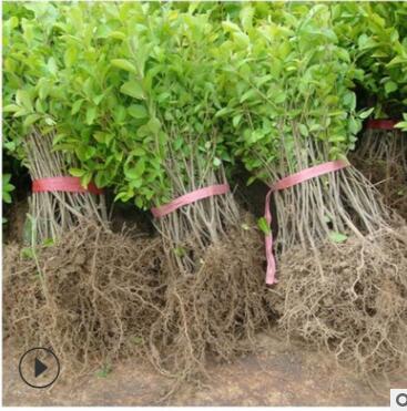 基地直销金叶女贞庭院花坛行道绿化色块工程耐寒植物四季量大从优
