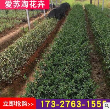 基地直销大量批发绿化苗灌木茶梅 茶梅苗植物 规格齐全