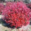【大毅苗木】本苗圃大量供应红叶石楠工程苗
