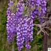 批发紫藤苗爬藤攀援庭院地栽盆栽植物紫藤花树苗南北方四季植物