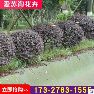 地被35厘米观叶春色叶红色系爱苏淘花卉苗木场露地灌木