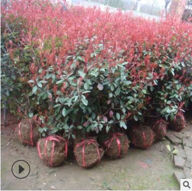基地直销本苗圃大量供应红叶石楠小苗各种规格工程苗现货充足