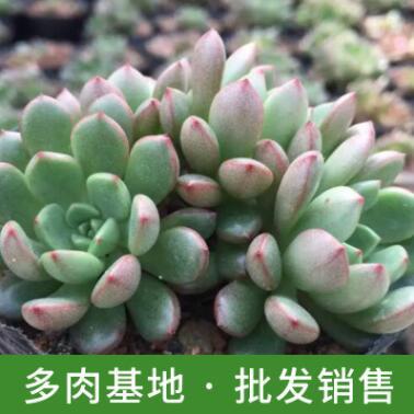 多肉植物批发 漳州基地大棚直销红宝石多头肉植 净化空气小盆栽