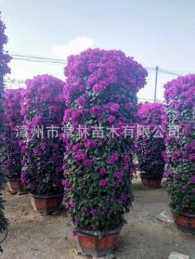 紫花三角梅柱子 红花三角梅盆栽 簕杜鹃花柱