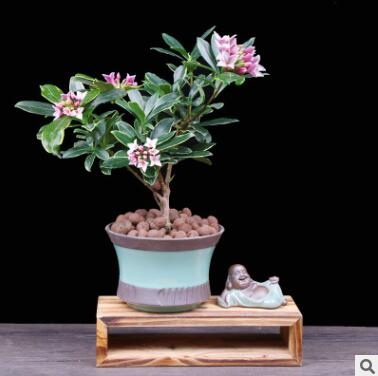金边瑞香盆栽包邮耐寒盆景绿植花卉瑞香花苗带花苞花期长净化空气