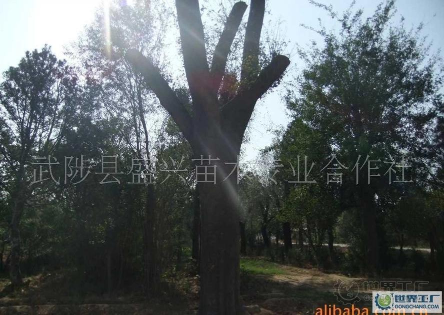 皂角树 大规格绿化苗木
