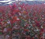 常州地区美国红叶天鹅绒紫薇