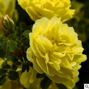 黄刺玫苗盆栽花卉南北方盆景四季园艺种苗绿化苗木不含盆