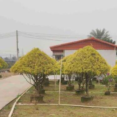 供应 造型 黄金香柳 1.5-1.7米高 袋苗 塔型 千层金