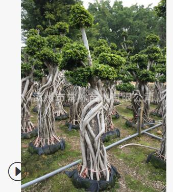 工程别墅花园造型小叶榕 抱石根小叶榕 精品造型榕树 榕树盆景