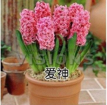 信子大种球土培套装绿色花卉植物当年开花【颜色任选】