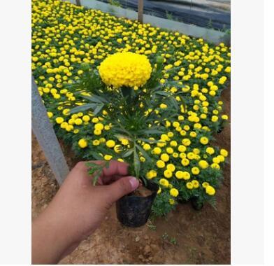 万寿菊 花卉 基地大量供应 大花金鸡菊