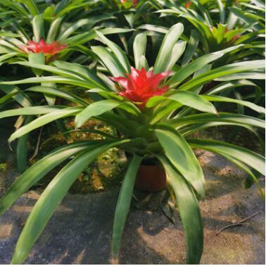 小红星(90#)观赏凤梨花卉植物盆景小盆栽 净化空气
