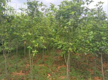 小桂花树苗70-180cm高金桂树苗