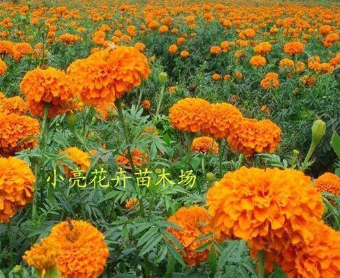进口万寿菊 万寿种子 发现系列 花卉种子