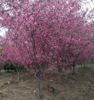 出售垂丝海棠 果实梨形或倒卵形略带紫色