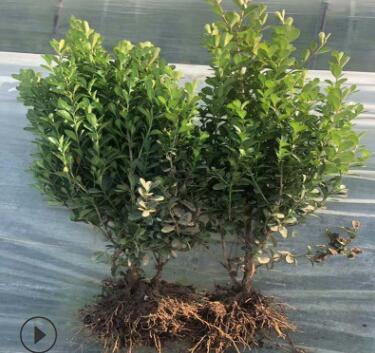 瓜子黄杨1.5北海道黄杨四季常青绿篱