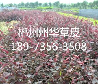 产品名称:红花继木1