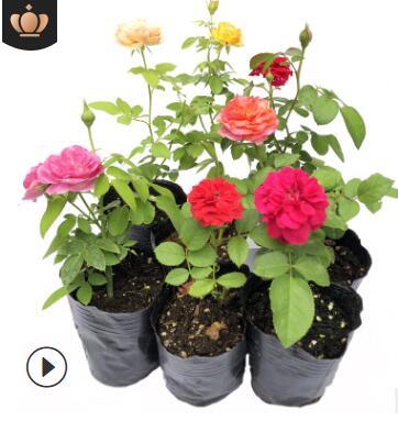 庭院四季盆栽花卉蔷薇花苗