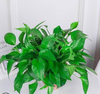 180绿萝吸甲醛盆栽净化空气绿植办公室桌面盆栽花卉植物