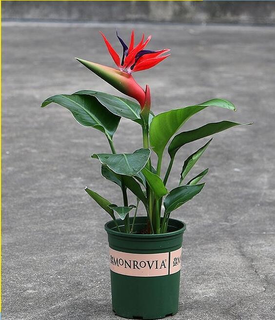 优质红花天堂鸟苗盆栽花卉室内常绿观花植物