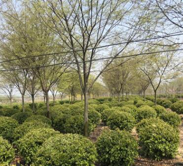 工程园林绿化篱笆植物小叶黄杨球