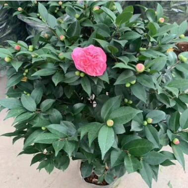 大量供应工程苗木室内盆栽绿植花卉 带花带苞 280#香茶花