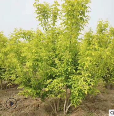 园林绿化风景树景观 树绿荫树