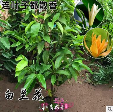 盆栽植物室外庭院大型黄兰花白玉兰