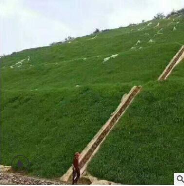 高羊茅 黑麦草披碱草护坡王不修剪耐踩踏