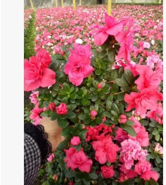 西洋杜鹃,花朵鲜艳美丽