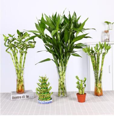 水培富贵竹室内水养植物 观音竹绿植盆栽