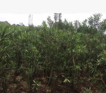 灌木树苗高度60cm到200cm的红花荚竹桃