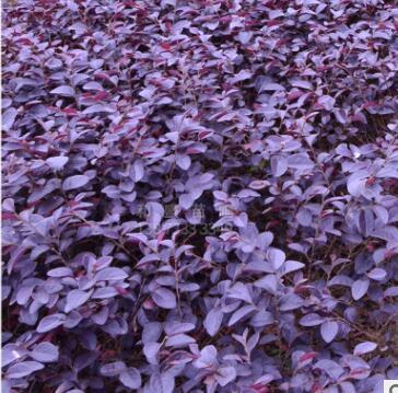 红继木植被庭院红花继木扦插行道园林