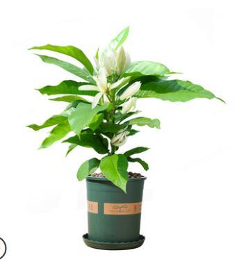 白兰花盆栽花卉植物室内