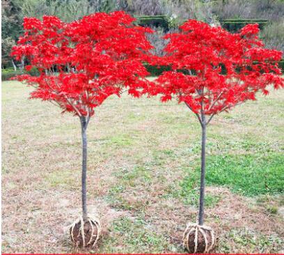 红四季红庭院绿化红枫盆栽红舞姬