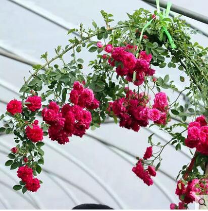 木香花苗四季蔷薇浓香爬藤植物