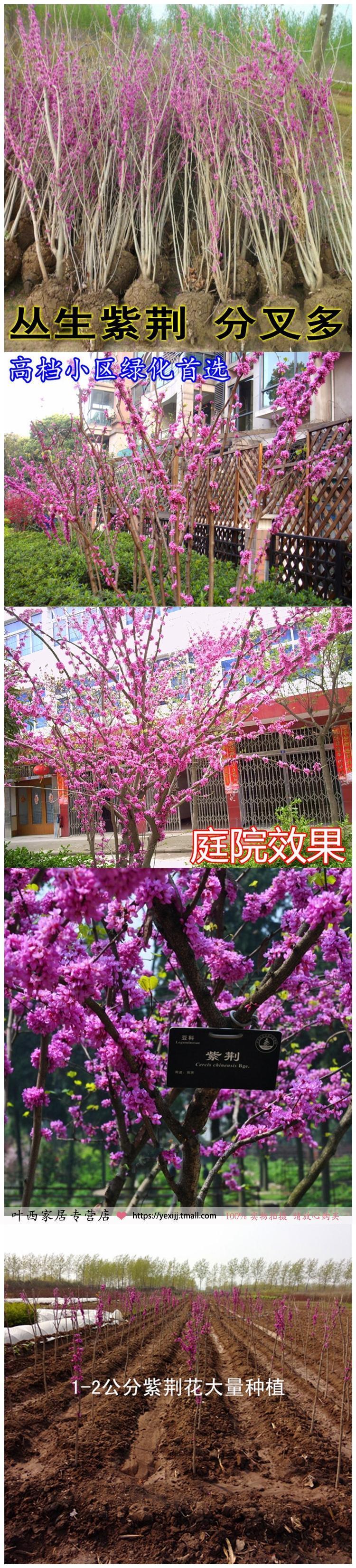 庭院 紫荆花苗 巨紫荆树苗 满条红紫荆小苗樱花苗