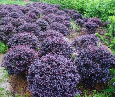 庭院绿化植物四季青花卉红花继木树苗高档灌木观赏绿篱红花继木球