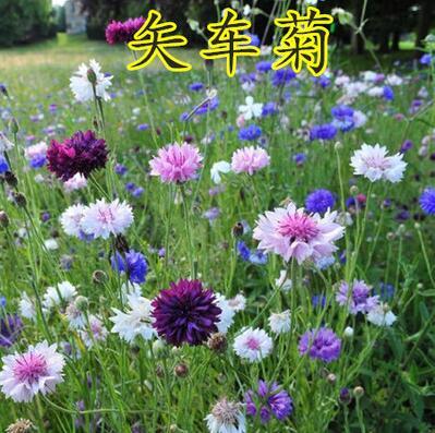 波斯菊种子格桑花种子