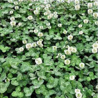 白三叶种子铺地用草坪型矮生白花三叶草种子
