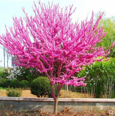紫荆花树苗紫荆花苗满条红庭院