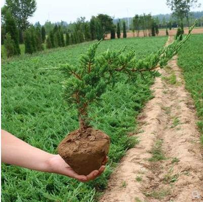 绿化长不含盆工程苗