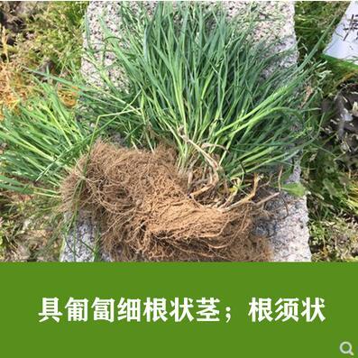 草坪种子早熟禾黑麦草紫花苜蓿草籽