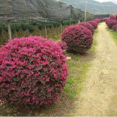 红花继木苗树苗