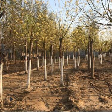 山东绿植培育基地种植绿化道路两旁黄金槐黄金槐树苗批发庭院种植