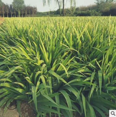 黄花/蓝花鸢尾绿化工程用苗直销兰花燕尾盆栽