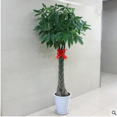 室内花卉 盆景植物 发财树盆栽 客厅创意花草 大型绿植